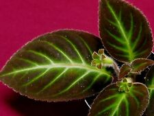 Gloxinella Lindeniana Gesneriad African Violet Relative Terrarium Gloxinia
