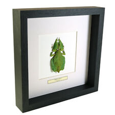 Real taxidermy leaf insect mounted in black wooden frame - Phyllium celebicum