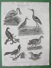BIRDS Avocet Spoonbill Crossbill Grouse - 1882 Original Engraving Print