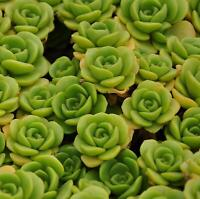 "3pcs 2"" Succulent Cuttings Aeonium Lily Pad Fresh Live Rare Plant Green Flower"
