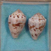 Conus Coronatus 2 Shells 23+25mm Straights of Tawain