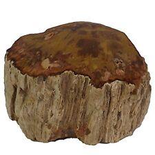 PETRIFIED WOOD BRANCH Section Polished Fossilized Stone Tree Limb Specimen Fr...