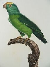 Parrot tuiparasittich barraband Copperplate 1801 Perruche Tui Parrot Parakeet N