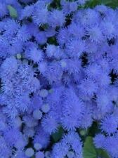"""Ageratum houstonianum """"Blue Mink"""" x 100 seeds. Flower. Gift in store"""