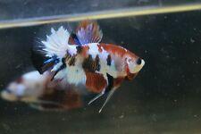Betta live fish HMPK Facny Male A Grade Thailand Breeders