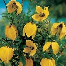 Clematis Summer Beauty 30 seeds,zaden,samen,semi,sementes,semillas,graines