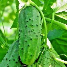 BIG PACK SIZE Cucumber seeds Titus F1. Gherkin from Ukraine 5 grams