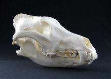 Schädel - Replikat  Wolf, wolf skull replica
