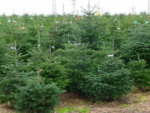 Turkish fir, Abies bornmuelleriana,  Christmas Tree approx, 25 seeds
