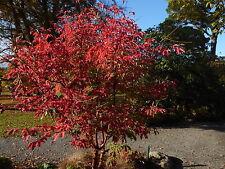 Acer Griseum, fuerte magenta/red Hojas Paperbark Maple. 4 Semillas