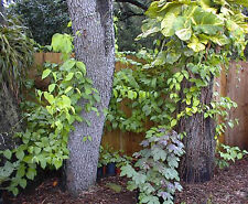 Banisteriopsis caapi- (Yellow Strain) - Un-rooted Cutting