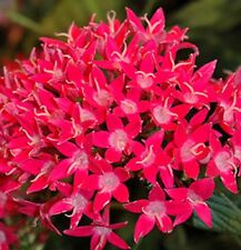 PICCOLO CHERRY Pentas lanceolata red star flowers plants - 4cell seedling punnet