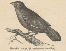 C8484 Phoenicercus carnifex - Stampa antica - 1892 Engraving