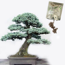 Bonsai Seeds Colorado Blue Spruce Evergreen Tree Planting Hobbies 50pcs
