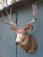 Stunning Large Colorado 10 Point Mule Deer Taxidermy Shoulder Mount.