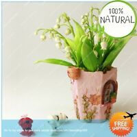 Lily Of The Seeds Plants Valley Flower Rare Bell Orchid Color Indoor 100pcs