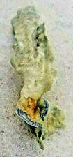 blue coral genus Heliopora, collected in Sulu Sea