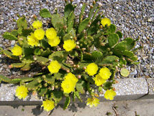 30 EASTERN PRICKLY PEAR CACTUS SEEDS - Opuntia humifusa  - cold hardy