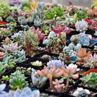 Pack of 100pcs Succulent Plant Seeds Rare Perennial Mixed Radiation Protection