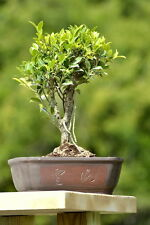 Imported Ficus retusa banyan bonsai tree. True import.