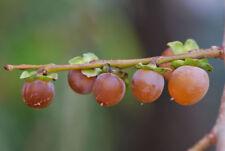 Date-plum, Caucasian persimmon (Diospyros lotus) 30 Freah Seeds