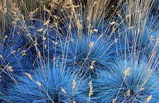 Festuca Glauca, Blue Fescue - 220 Seeds - Perennial