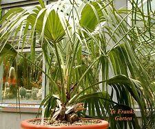 Mazari-Palme @ Nannorrhops ritchiana @ Kübelpflanze @ frosthart  -20°C @ 5 Samen