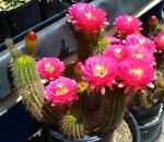 Cactusbylin
