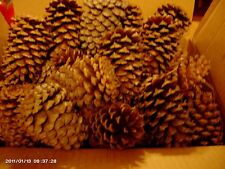 160 3 to 4 inch pine cones