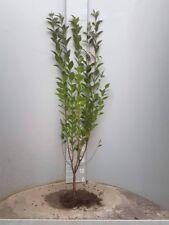 1st. Liguster Atrovirens 100-150cm  Heckenpflanzen jede Stückzahl möglich %