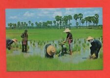 Thaïlande - Cultivation of the rice   (D5458)