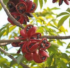 *25 Fresh Seeds*Sterculia Foetida*Java Olive Tree*Wild Almond*Kelumpang*Bangar*
