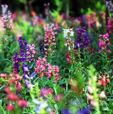 50 Harebell Seeds Penstemon Campanulatus Garden Flowers