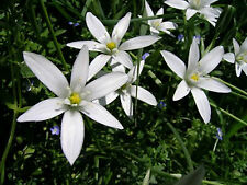 Star of Bethlehem Multi-Potency Bach Flower Essence 15 ml -Shock, Pain & Comfort