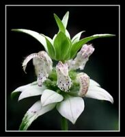 bee balm, spotted, 50 seeds, RARE PERENNIAL! white flower