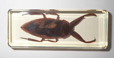 Giant Water Bug Lethocerus deyrollei Amber clear Block Education Insect Specimen