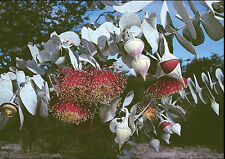 Scarce Rose Mallee (Eucalyptus rhodantha) 30 Seeds Long flowering Frost Drought