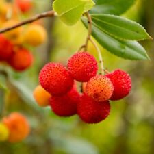 10pc Edible Arbutus seeds Strawberry Tree Delicious Chinese Fruit Seed