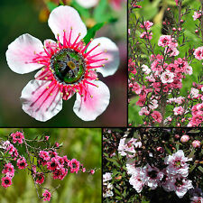 250+ Graines Mers du Sud-Myrtle-Leptospermum scoparium-TREE-Manuka SEEDS