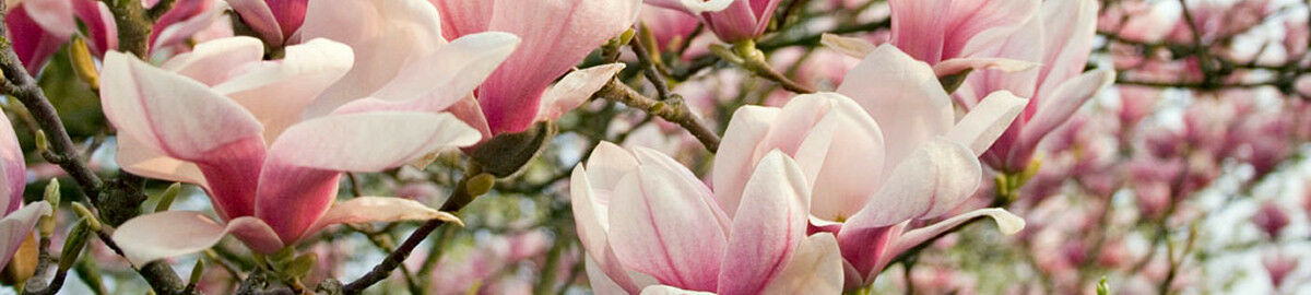 When The Magnolia Blossoms