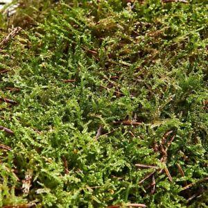 Swell Reptiles Live Carpet Moss for Terrarium Natural Forest Decor 15x15cm