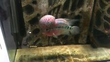 AAA Male Adult  Red Kamfa Flowerhorn Cichlid fish XXL Huge Kok