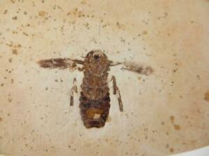 S.V.F - Insect Fossil - cockroach- Crato - Brazil