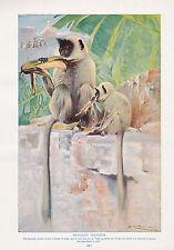 1910 NATURAL HISTORY DOUBLE SIDED PRINT ~ HANUMAN MONKEYS / MACAQUES LYDEKKER