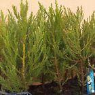 Sequoiadendron giganteum gigantesca Sequoia-PLUG soggetto IDEALE BONSAI