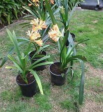 1 Orange flowering mature  clivia plant in the pot