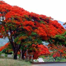20-Delonix-Regia-Orange-R oyal-Poinciana-Exotic-Flam e-Stun-Samen-Semillas-Tree
