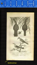 Golden Oriole, Indian Bee Eater, Tropical Nests- 1830 Goldsmith Copper Engraving