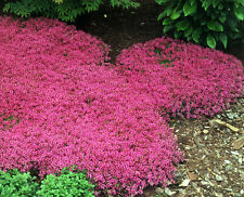 1/4 oz Creeping Thyme Seeds Scarlet, Perennial Ground Cover Seeds, approx 27,000
