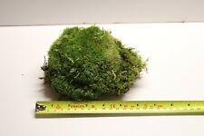 More details for live cushion moss bun moss, terrarium plant, terrarium bio active reptile